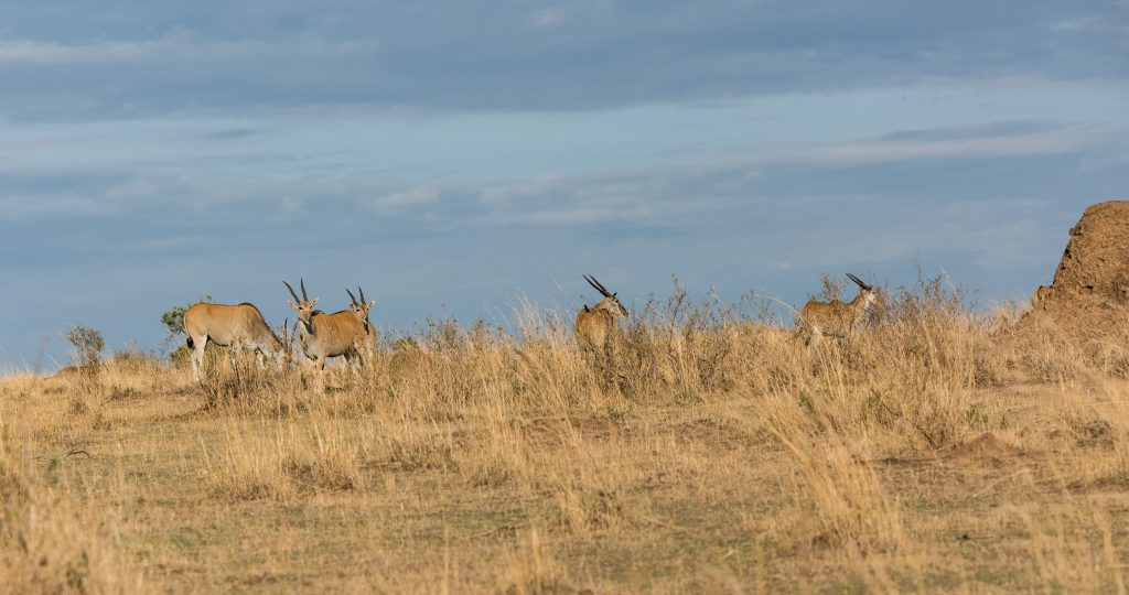 Herd of eland in the early morning light