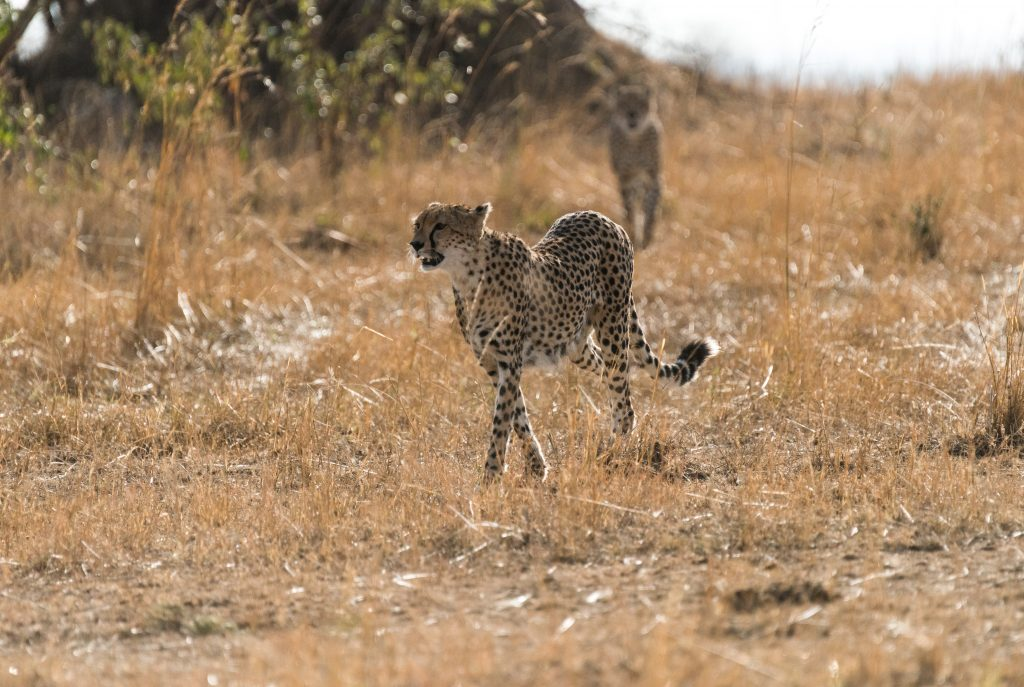 Cheetah in the foreground backlit by early morning sun
