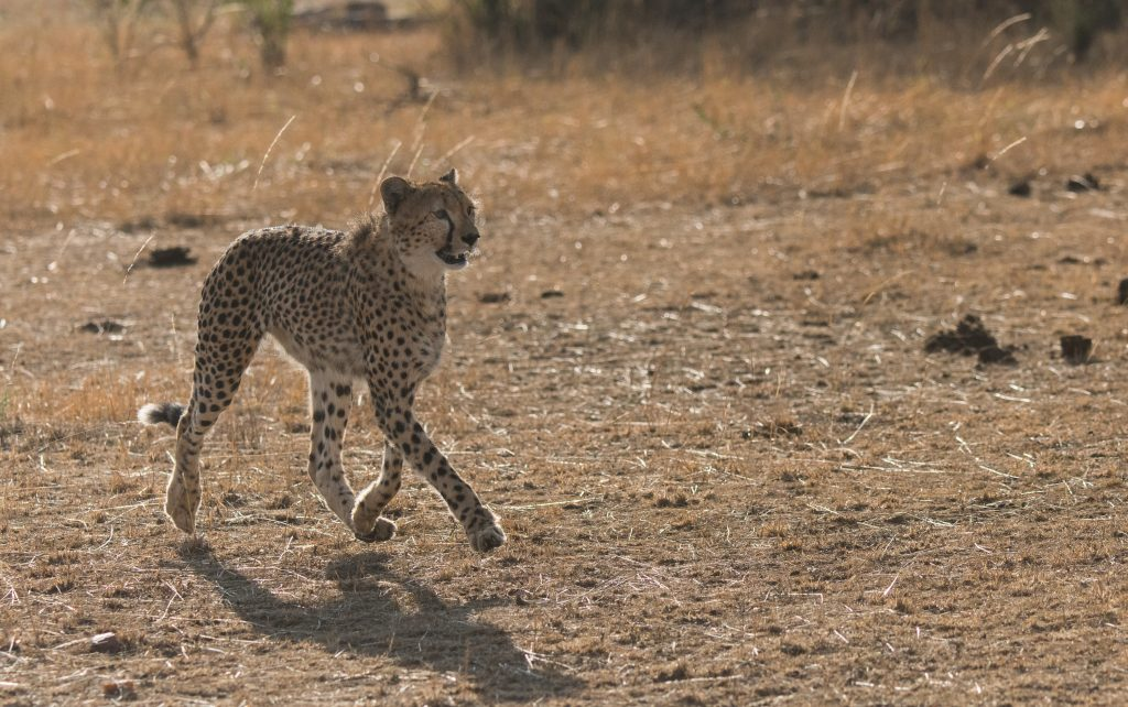 Young cheetah moving left to right with paws barely touching the ground
