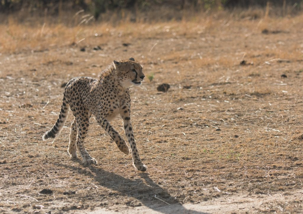 Young cheetah spots something and skids to a halt