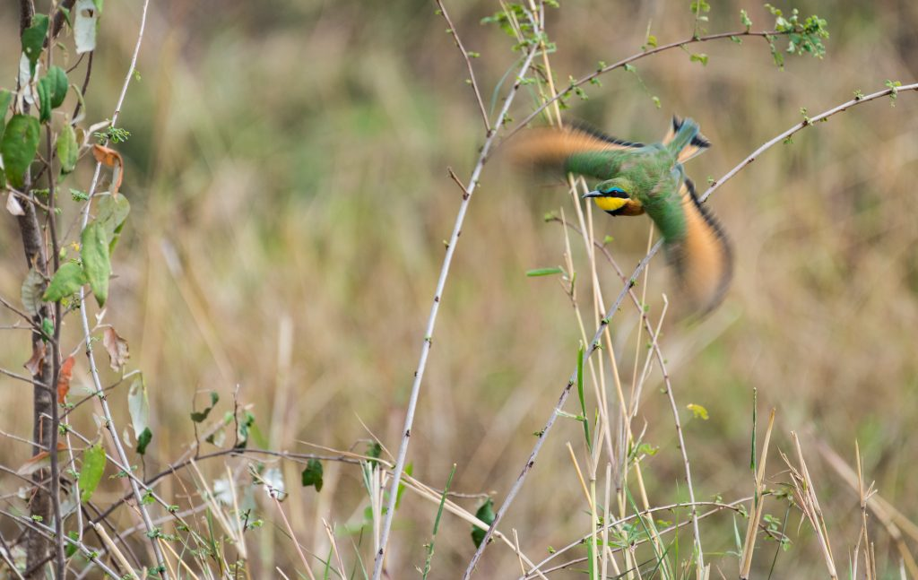 Little bee-eater in flight with body in focus and wings blurred