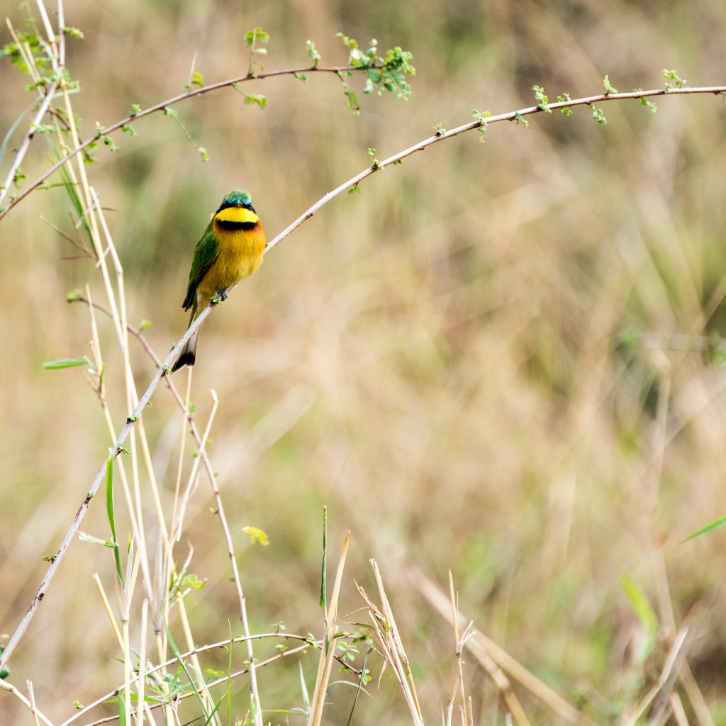 Little bee-eater perched And looking to camera