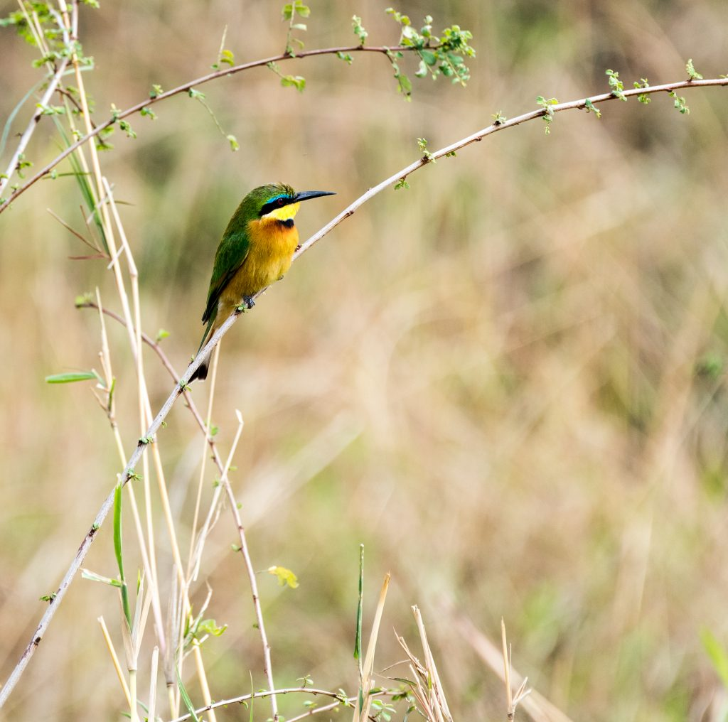 Little bee-eater in profile showing its beautiful colours