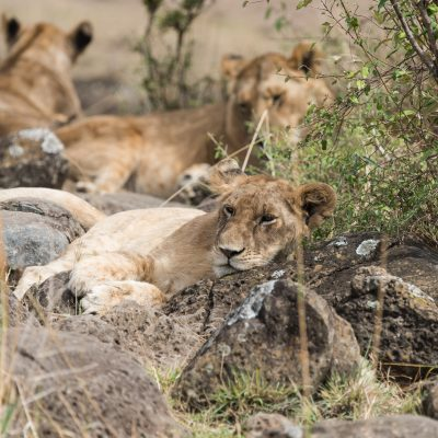 Young lion lying on some large boulders and facing camera