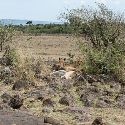 Lion family resting In a boulder strewn area