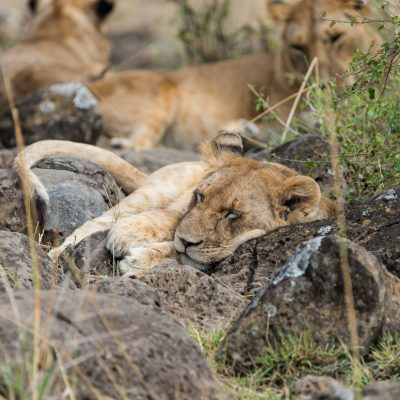 Lion from earlier picture asleep using a boulder as a pillow