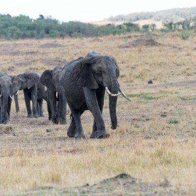 Family group of elephants, dark grey colour moving towards camera