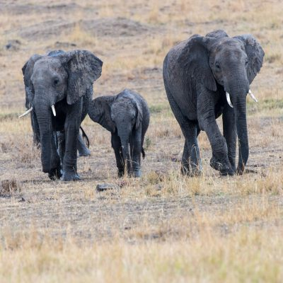 Mother, young, and baby elephant walking towards camera