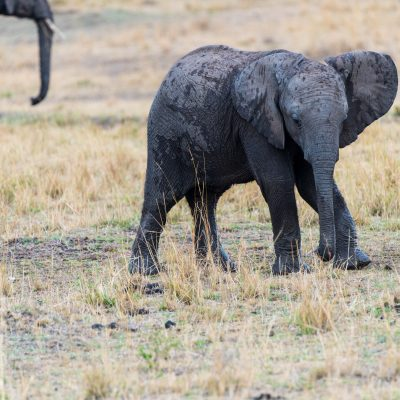 Baby elephant flapping its ears but staying close to mum