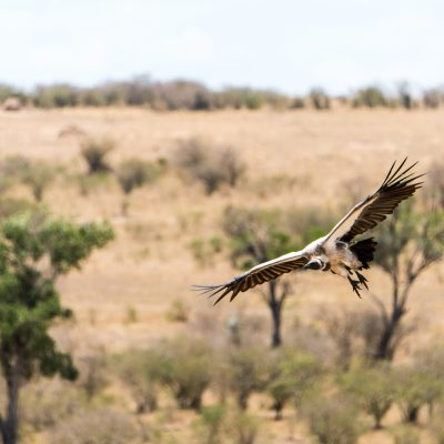 White backed vulture flying low, focussed on the carcass