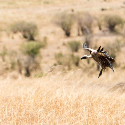 White backed vulture coming in to land