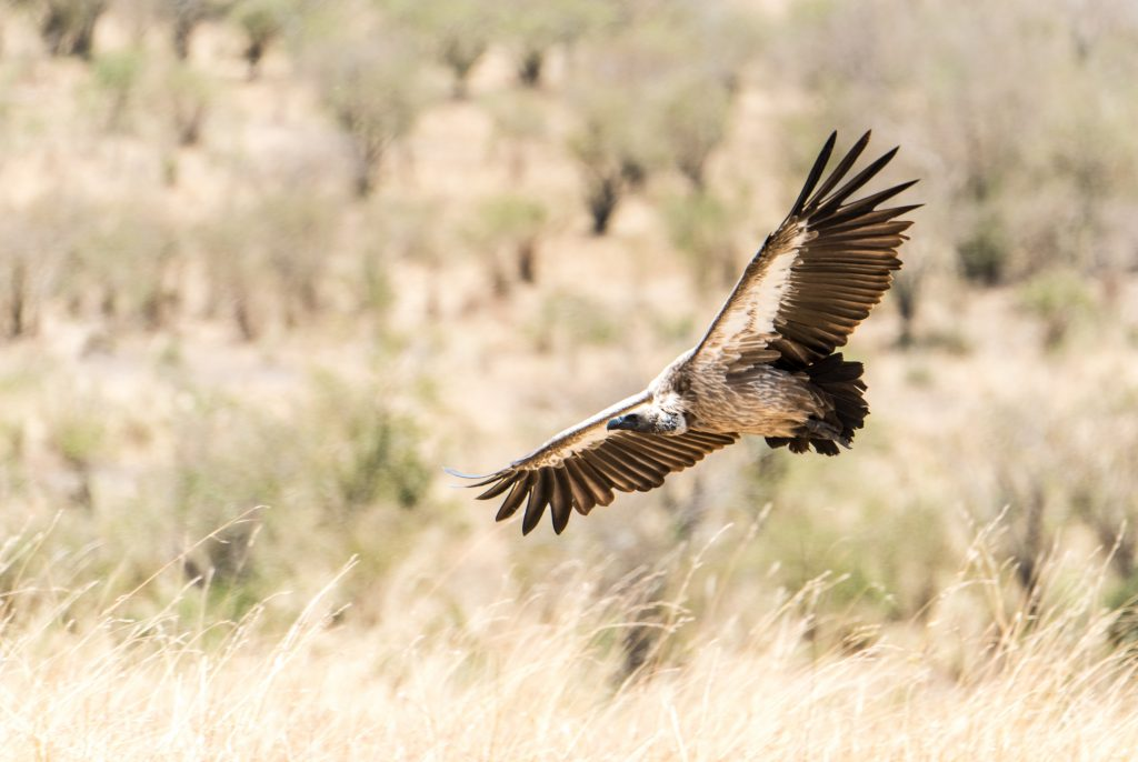 White backed vulture showing full wing span as it flies in