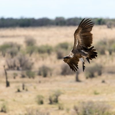 White-backed vulture starting its descent