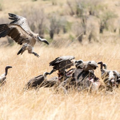 White backed vulture planning to land on the carcass or other vultures!