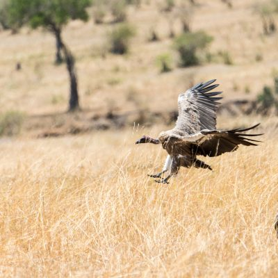 White-backed vulture coming in to land with wings pressed back to break the speed
