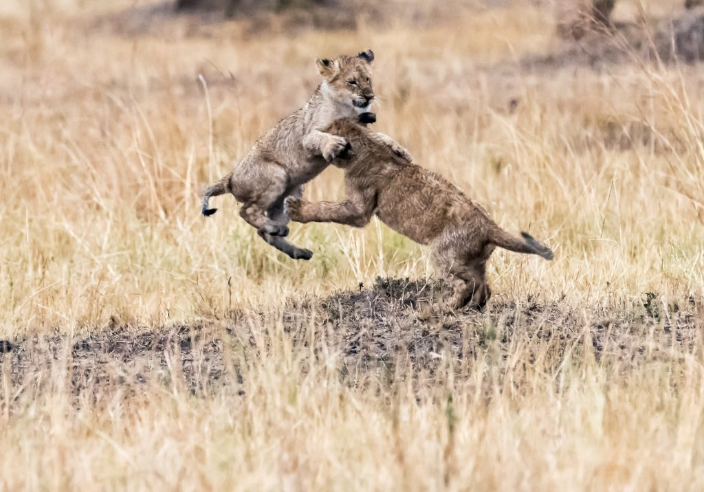 A lion cub jumping its sibling