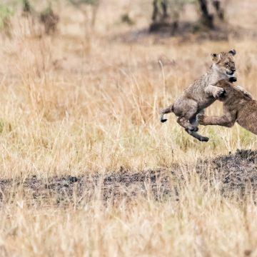 Activity on a wet afternoon – lion cubs playing