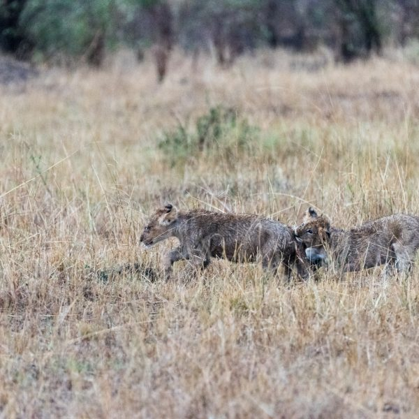 Lion cub catches the tail of a sibling