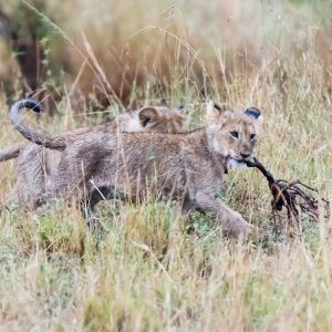 Lion cub running carrying a long twig