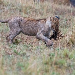 Lion cub wrestles it's stick to the ground