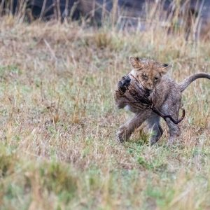 Lion cub carrying the prickly end of its stick