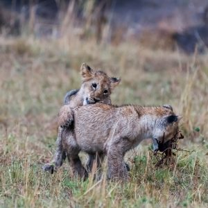 The second cub attacks from behind - stalking and jumping