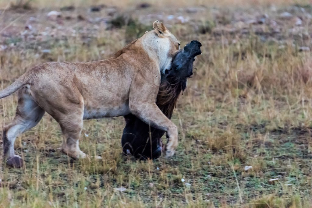 Lioness with warthog kill