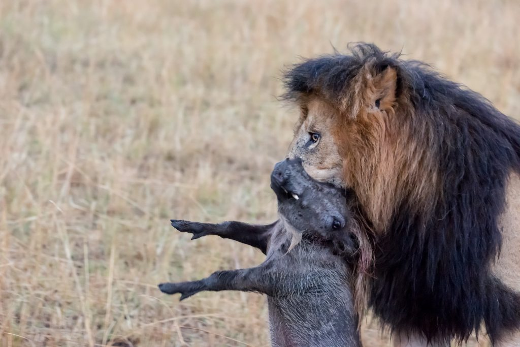 Lion carrying the warthog