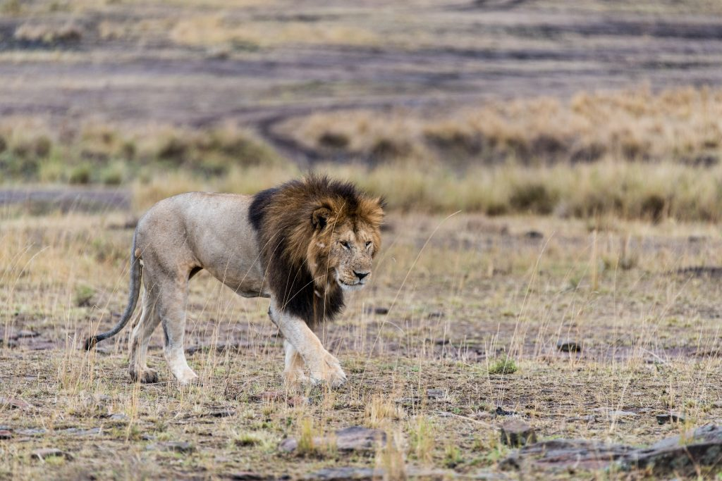 Male lion walking with strong strides towards two lionesses