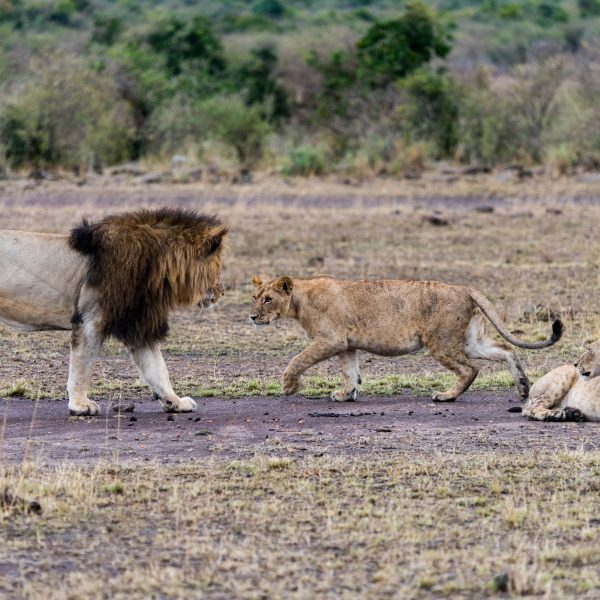 Male And female lions circling each other.