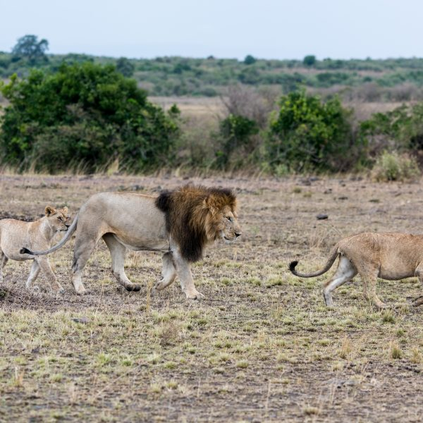 Lioness leads the male off and her sister follows behind