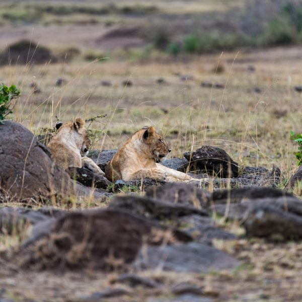Two lionesses resting amongst some rocks