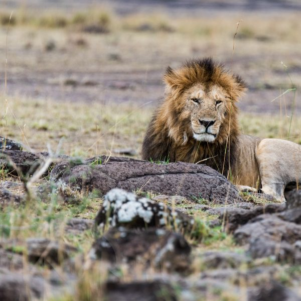Male lion settled down on rocks a short distance from the female