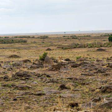 Spotting lions