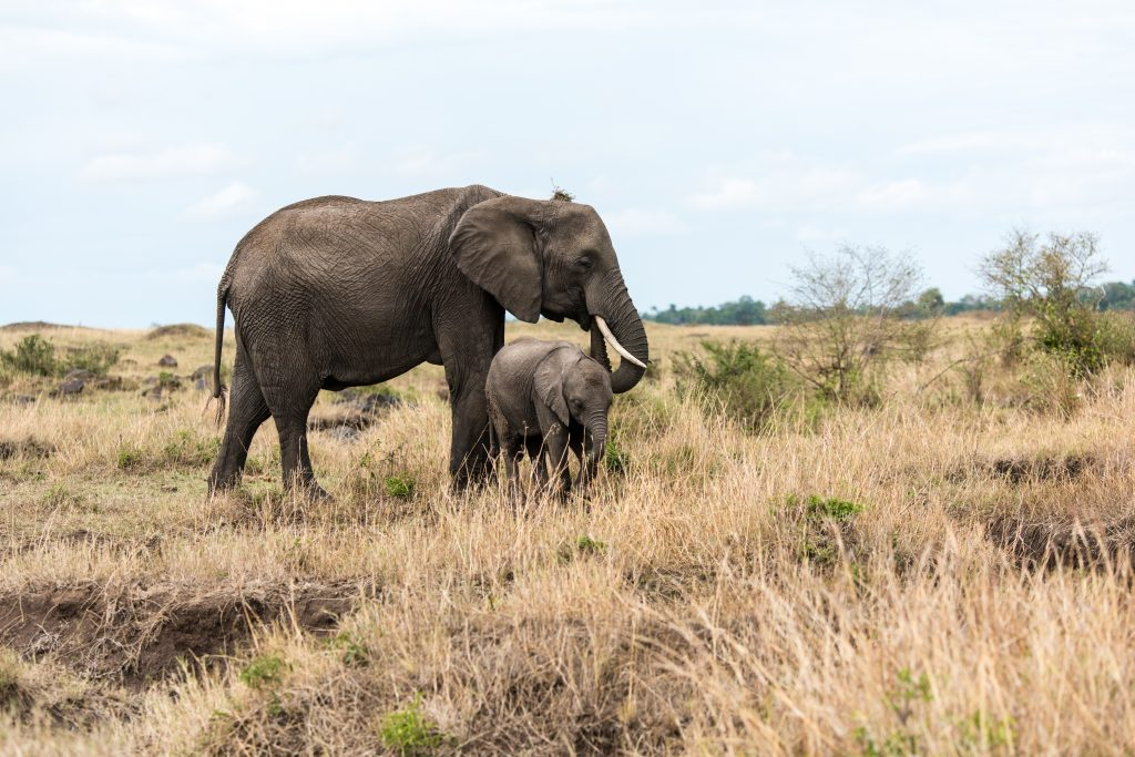 Mother elephant and baby peacefully grazing