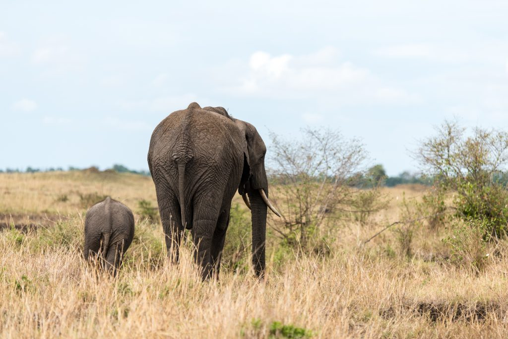 Backsides of mother and baby elephants