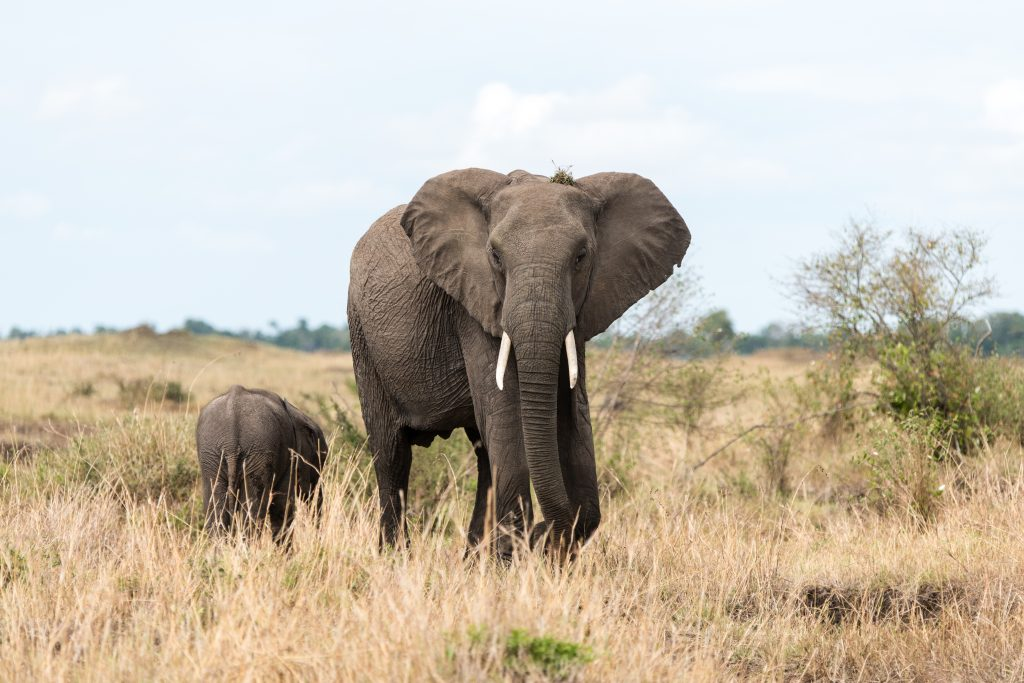 Hearing the camera shutter the female elephant turns to face us