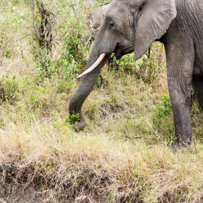 Close up of an elephant with its trunk curled low down the tuft of grass