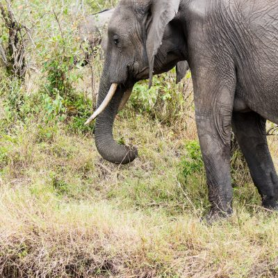 Elephant yanking the grass to the side and up