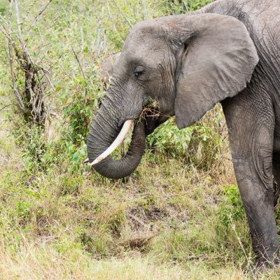 Elephant lifts the grass up and into the mouth