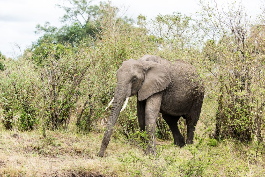Elephant with its trunk stretched straight out showing just how long it is