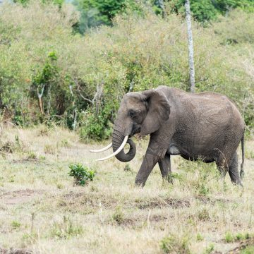 Elephants in the Mara
