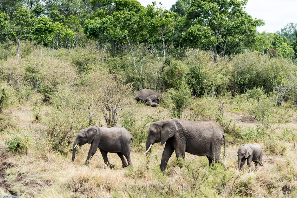 Three elephants walking in the foreground but an elephant is motionless on the ground in the background