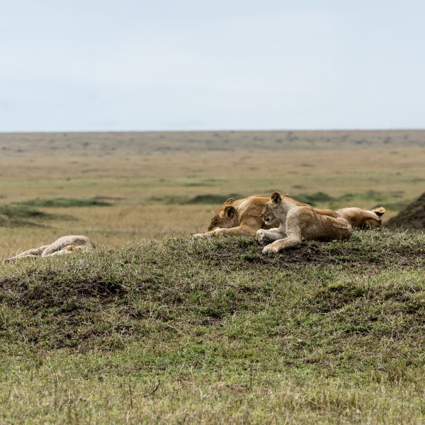 Lions lying on a grassy mound out in the open