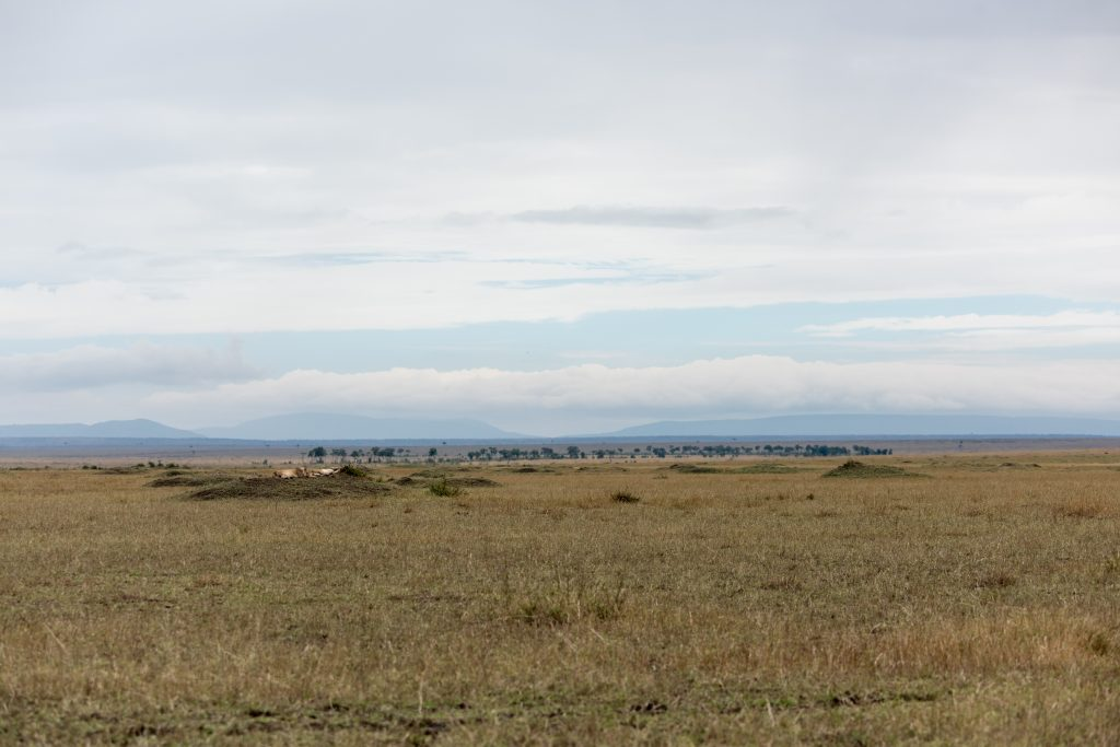 Shot showing the vastness of the plain and how small and well camouflaged the lions are