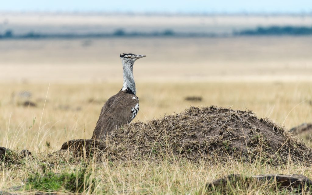 In the same patch of ground as the lions is a Corey bustard