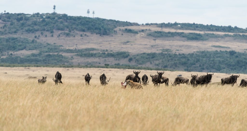 Hyena with kill with watching wildebeest