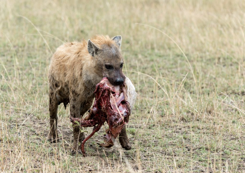 Front view of hyena carrying a chunk of a carcass
