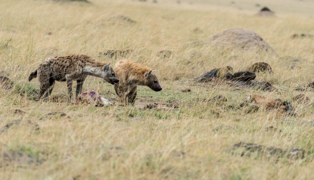 Two hyenas next to the kill facing down a cub in the grass on the right
