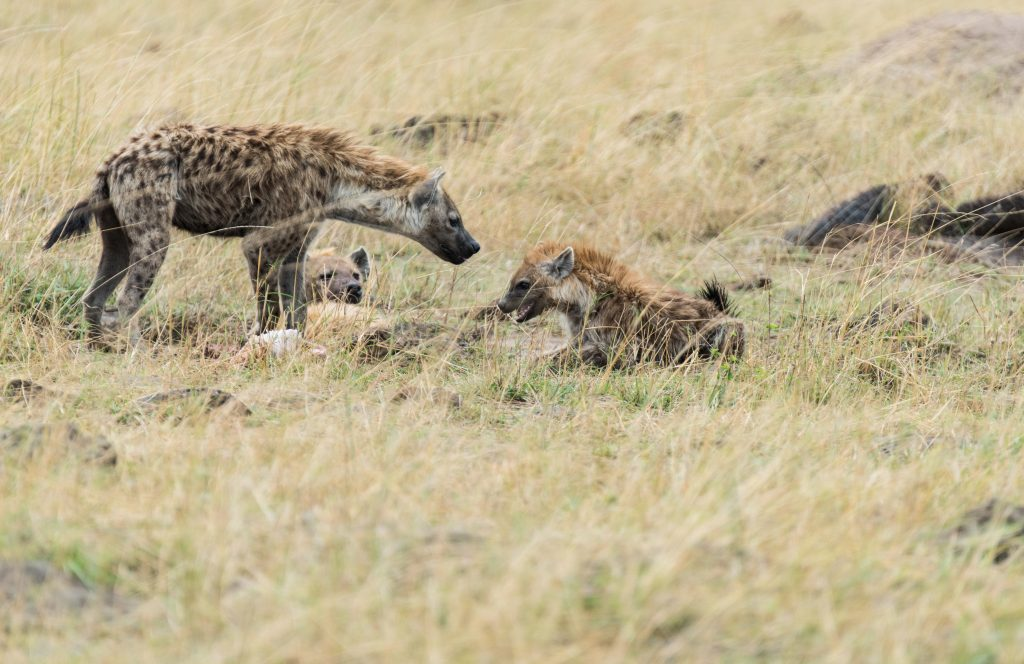 Hyena cub inches forward to get nearer the carcass